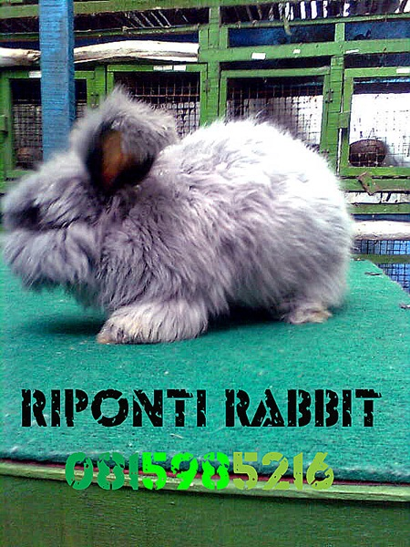rabbit angora english
