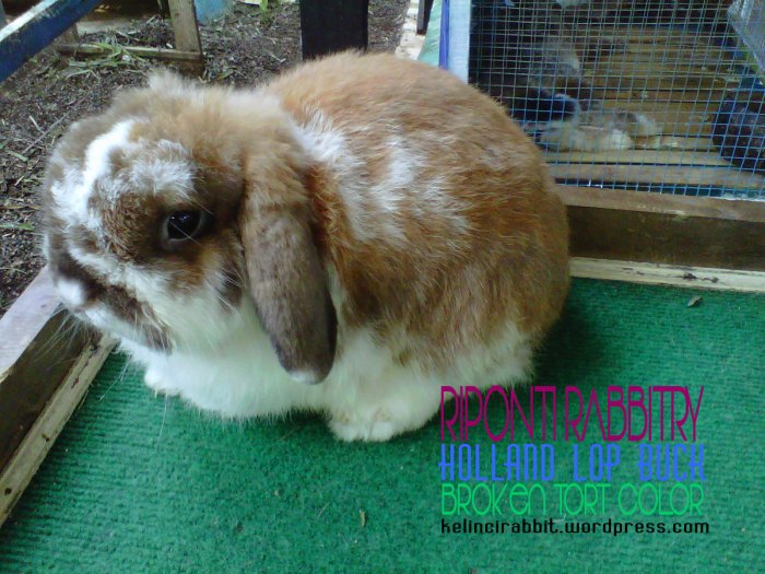 broken-tort-holland-lop
