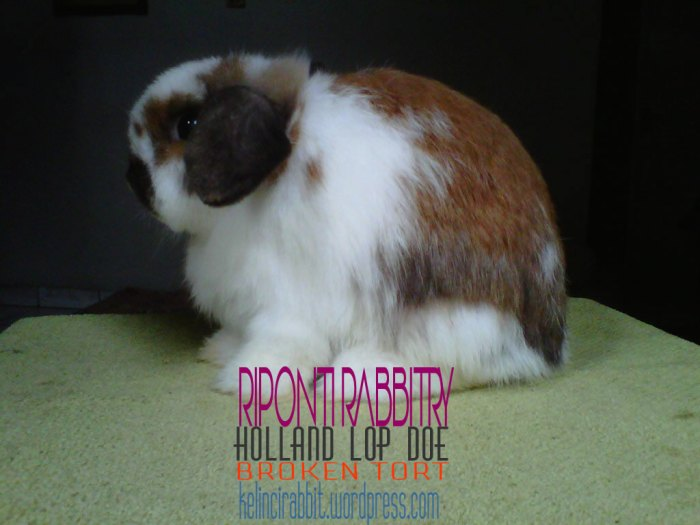 holland-lop-doe