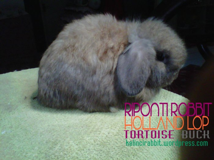 holland-lop